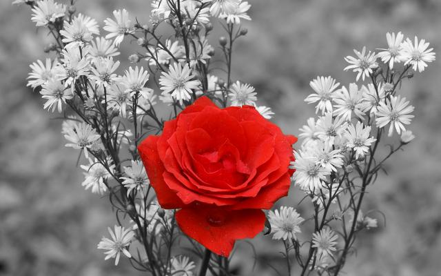 The-best-top-desktop-roses-wallpapers-hd-rose-wallpaper-42-black-and-white-and-red-rose-wallpaper.png